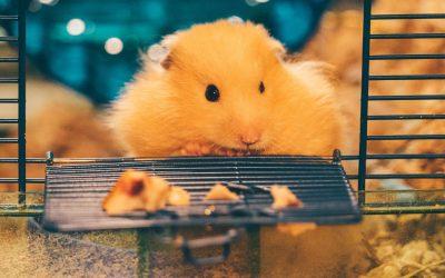 Hamster Care Advice